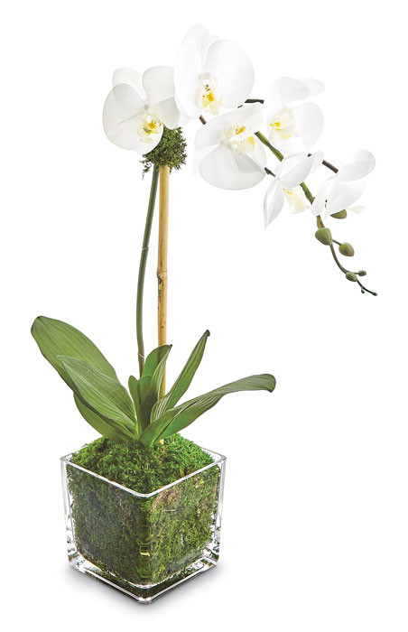 9321: Phalaenopsis Orchid in Glass Vase - Cream (Product Detail)